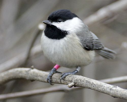 Carolina Chickadee by Jim Rathert