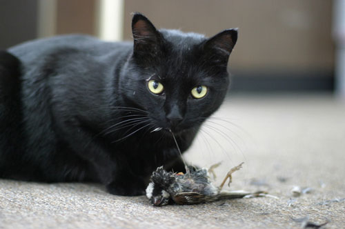 Even cats that are fed kill birds!